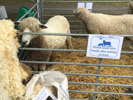 Sheep at the 2017 Stow Cotswold Festival